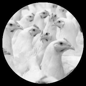 Refrigeración industrial para aves