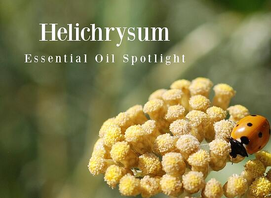 Helichrysum Essential Oil Spotlight
