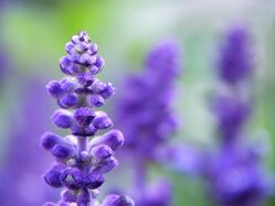 Lavender-close-1.jpg