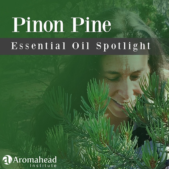 Pinon Pine Essential Oil Spotlight- title image - 1200 x 1200 - V1