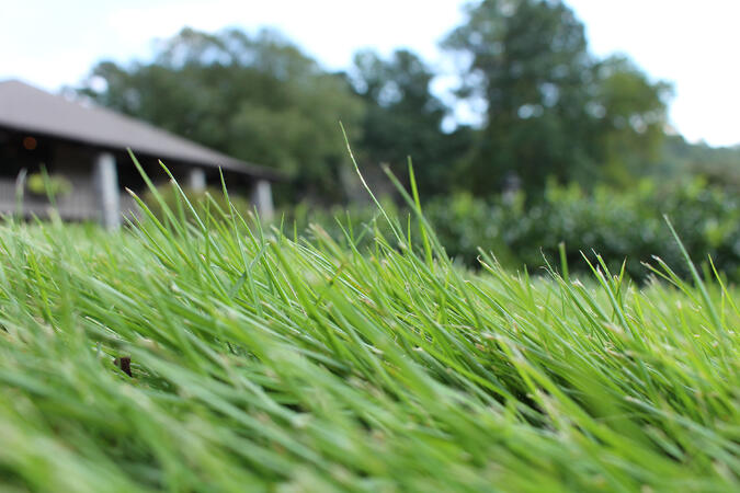 Close up of Zeon Zoysia grass blades