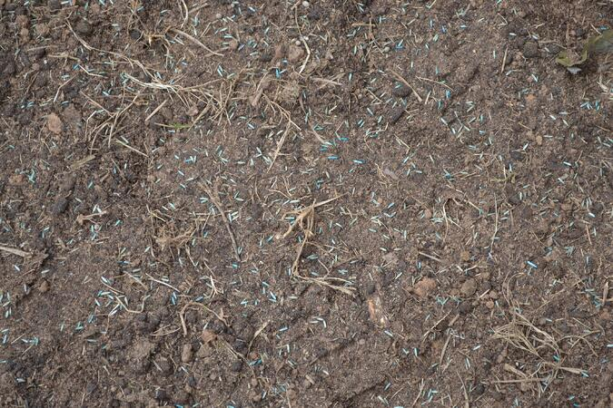 Scattered Elite Tall Fescue seed