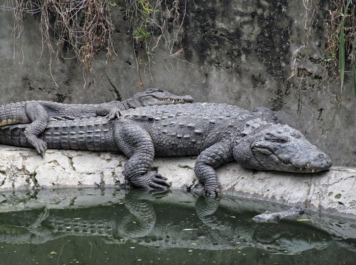 crocodiles-573744_1920