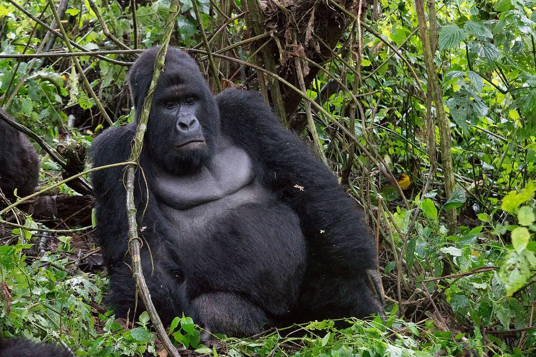 1280px-Mountain_Gorilla_(Humba_family)_–_Virunga_National_Park_(30) source wikipedia
