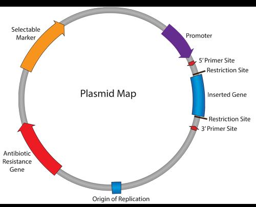 Transformation in plasmids