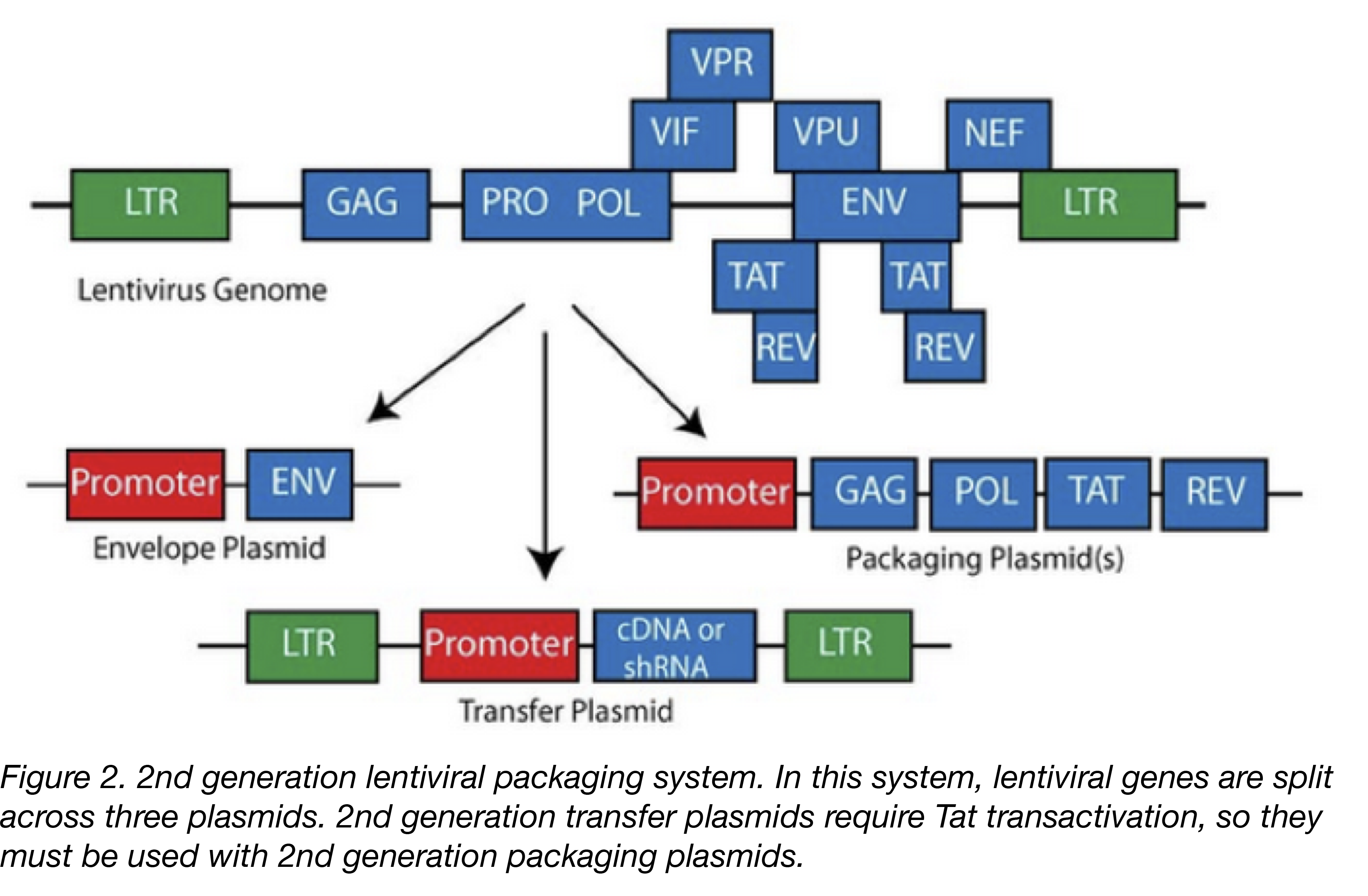 Lentiviral Vector Uses And Overview