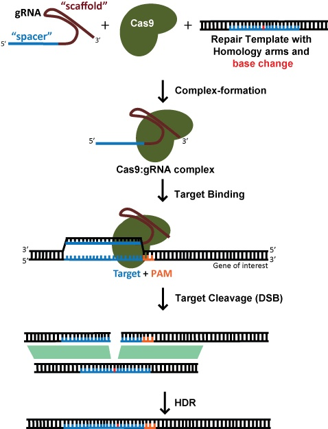 Diagram: Using CRISPR to perform genome editing