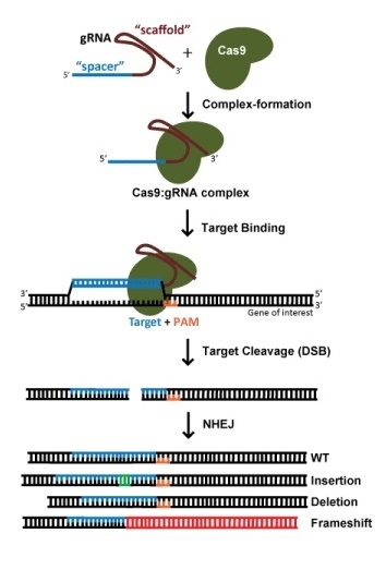 Diagream: Using CRISPR to create Indels