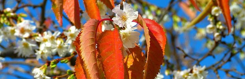 cherry-blossoms-222370_1280-918566-edited.jpg