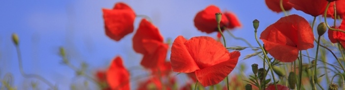 seekers_banner_november_poppies.jpg