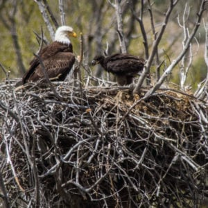 Bald-Eagle-Nests-Rick-Spitzer-300x300