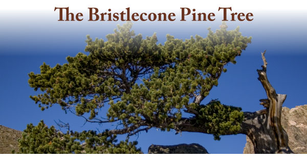 Bristlecone-Pine-Tree-Curious-Nature-1