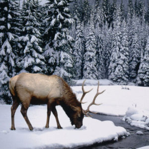 Colorado-Elk-in-Winter-300x300-Walking-Mountains-Curious-Nature