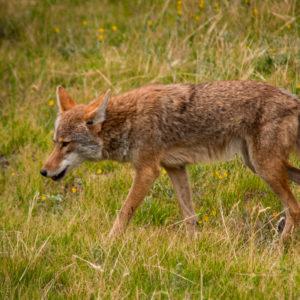 Coyote in Colorado Vail