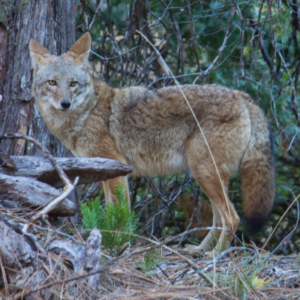 Coyote-CN-WEB-300x300