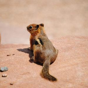 Haleys-Ground-Squirrel-300x300