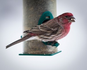 House Finch what to feed birds in the winter