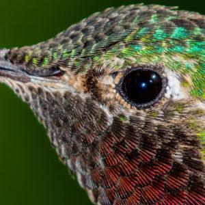 Hummingbird Eye