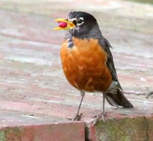 The Robin Birding and Bird Watching Vail Colorado