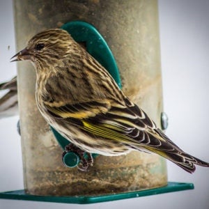 Little Brown Birds and how to identify different species