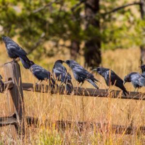 Murder-of-Crows-300x300