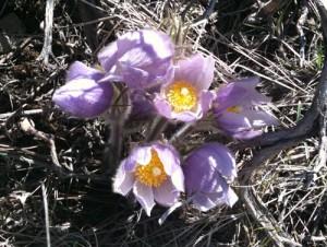 Pasque Flower Colorado