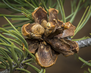 Pinyon-Pine-Cone-For-Pine-Nuts-Colorado-300x240