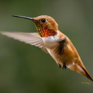 Rufous Hummingbird In Colorado Migration