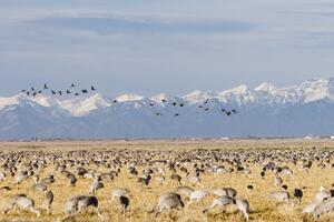 Sandhill Crane Migration Colorado