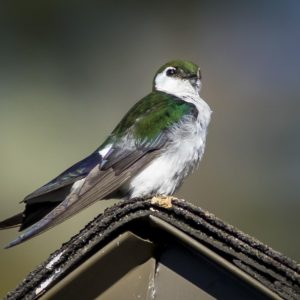 The Bird the Swallow in Colorado Violet Green Swallow