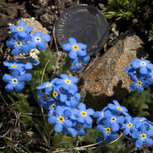 Walking-Mountains-Curious-Nature-Forget-Me-Not-300x300