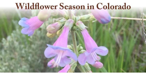 Wildflower-Season-in-Colorado