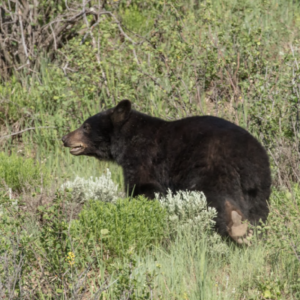 bear-CN-300x300