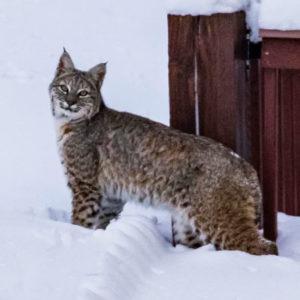 lynx in snow in colorado