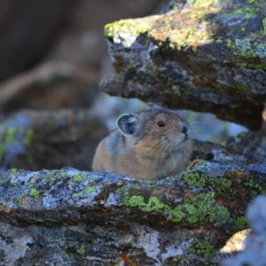 Pika in Colorado are Endangered