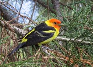 western-tanager-bird-watching-vail-colorado