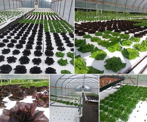 aquaponics lettuce!