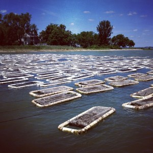 Oyster Farming on the Chesapeake