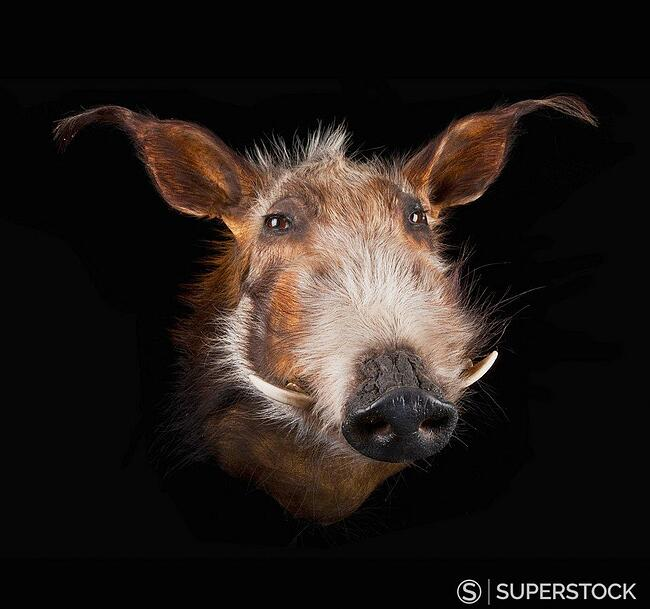 Face of a warthog phacochoerus africanus on a black background CHIAROSCURO