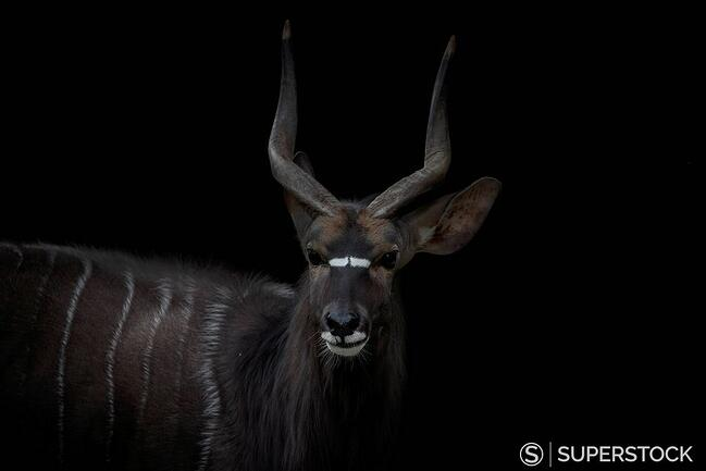 Portrait of Nyala in front of black background