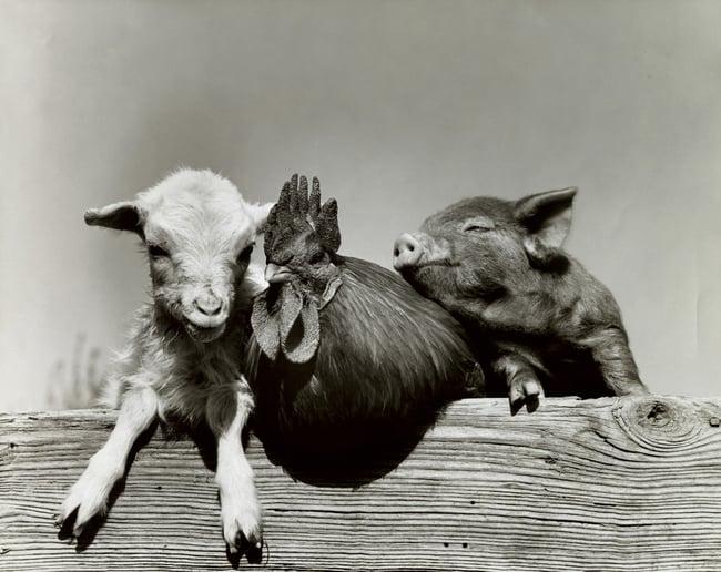 Vintage portrait of farm animals