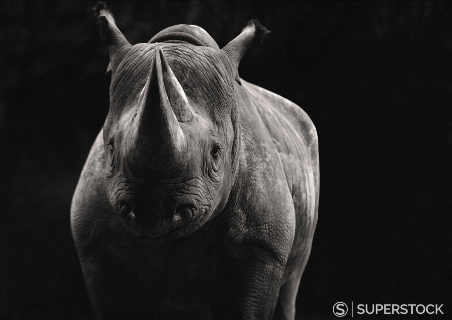 Black Rhinoceros CHIAROSCURO style photography