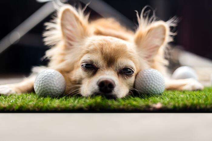 lying_dog_with_golfballs-1