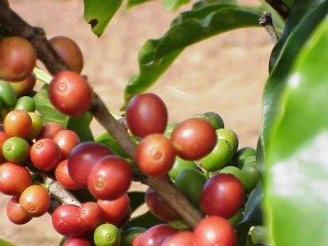 coffee antioxidants