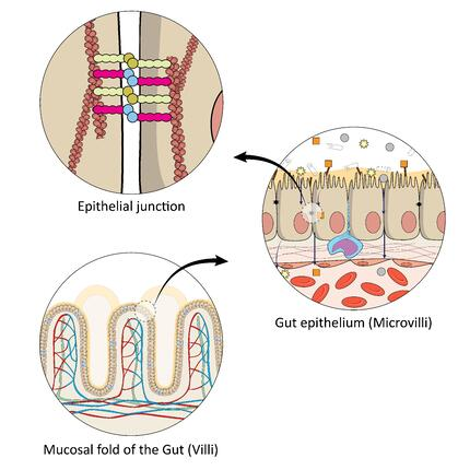 mucosa structure and tight junction
