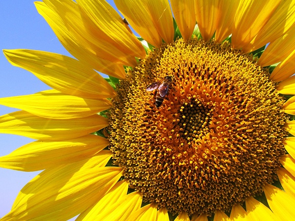 body_sunflower.jpg