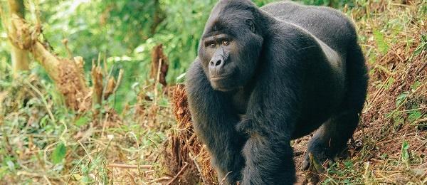 Africa 5 - 600x260 uganda-overview-gorilla.jpg