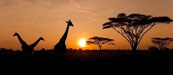 giraffes-at-dusk.jpg