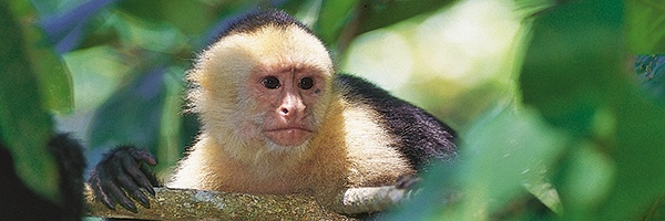 2-capuchin