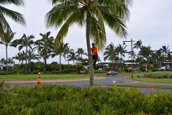 coconut-palm-trimming-at-Kukuiula-Roundabout